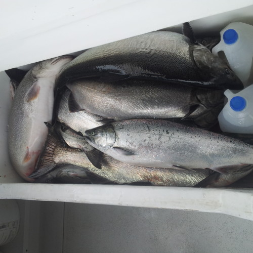 Michigan salmon fishing guide